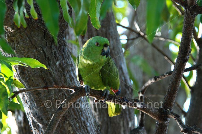 geel groene vogel met rode kop